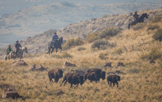 Bison roundup returns to Antelope Island this weekend